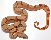 '18 Hypo Fire het Anery poss Sharp Female
