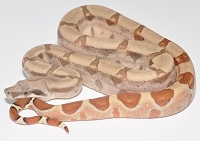 '18 Hypo Fire het Anery poss Sharp Male
