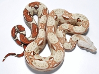 '18 Pink Panther White Line VPI Male