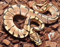 '18 Spider het Clown Female