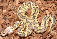 '18 Pastel Clown Female