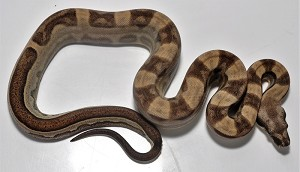 '18 Jungle Motley het Sharp Male